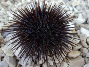 Black Sea Urchin