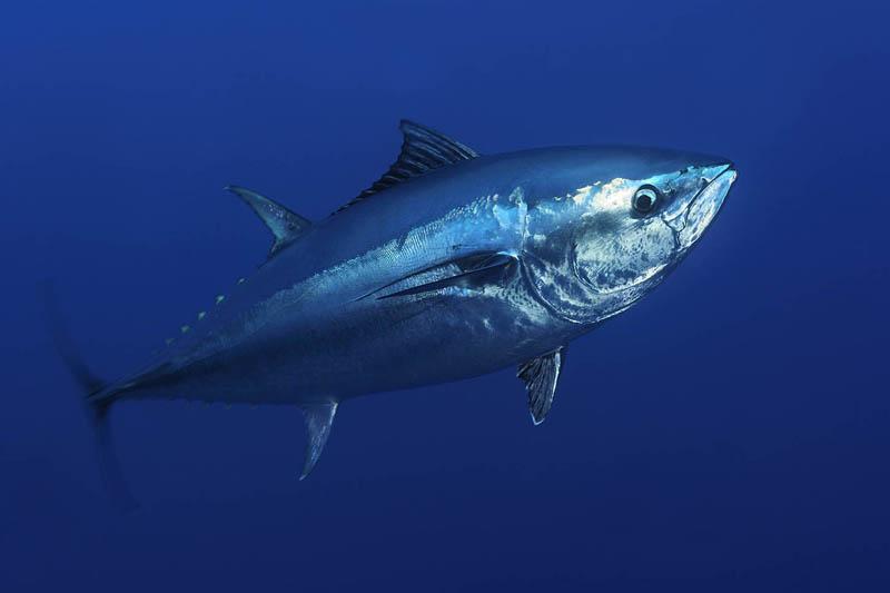 bluefin-tuna-thunnus-thynnus001