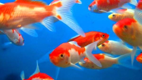 Interesting fact about goldfish facts every week for Can tropical fish live with goldfish