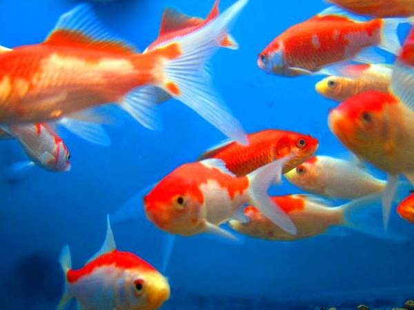 Interesting fact about goldfish facts every week for Fun fish facts