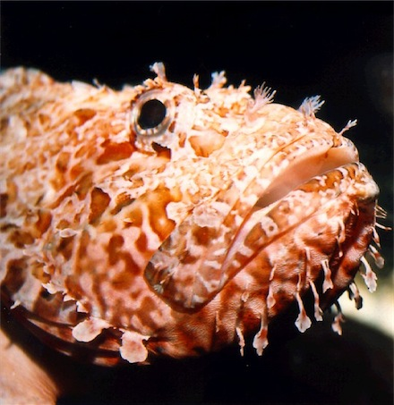 Scorpion Fish - Scorpaena Scrofa