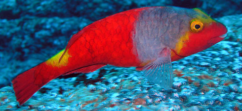 Mediterranean Parrotfish Early Phase