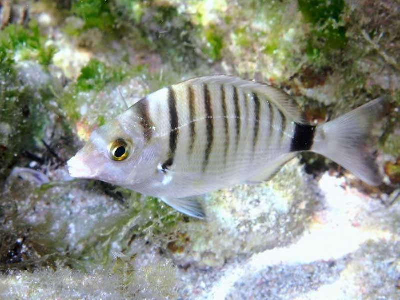 Sharp Snout Sea Bream - Diplodus Puntazzo