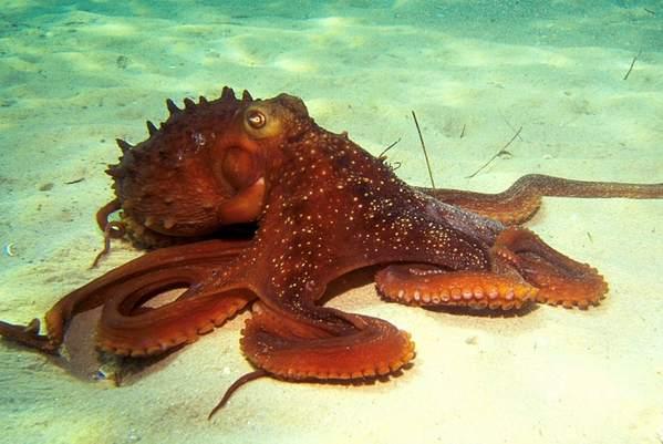 Common Octopus - Octopus Vulgaris - Interesting Fact About Octopus
