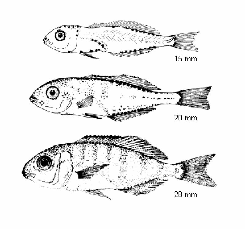 Gilthead Sea Bream Sparus Aurata Larval Stages