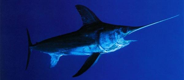 Swordfish Xiphias Gladius