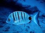 white-sea-bream-we-heart-diving002